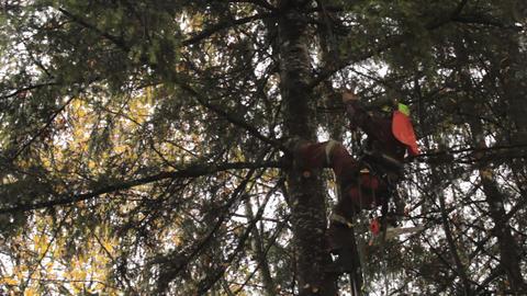Arborist Climbing Tall Douglas Fir Tree Stock Video Footage