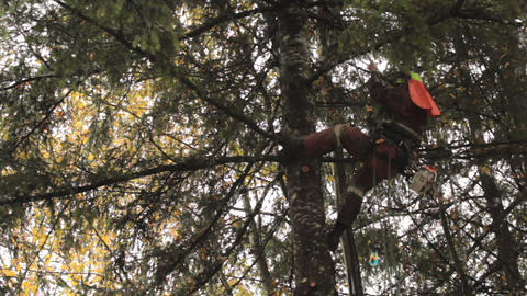 Arborist Climbing Tall Douglas Fir Tree Stock Video Footage