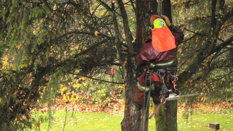 Arborist Cutting Branches Off Douglas Fir Stock Video Footage