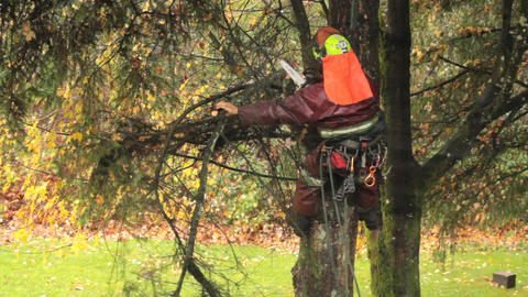 Arborist Cutting Branches Off Douglas Fir Footage