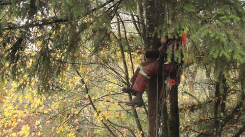 Arborist Hoisting Himself Up Douglas Fir Tree Stock Video Footage