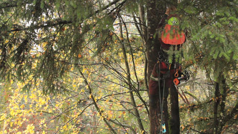 Arborist Hoisting Himself Up Douglas Fir Tree Footage