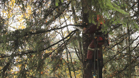 Arborist Skillfully Uses Chainsaw To Trim Douglas Stock Video Footage