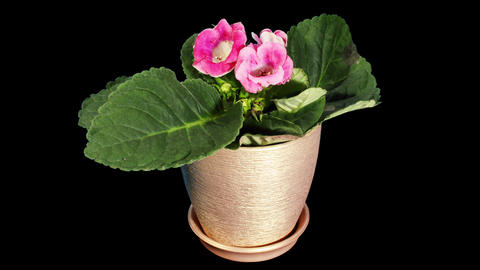 Growth of Gloxinia flower buds ALPHA matte Footage