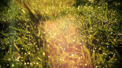 Morning Dew Drops On Green Grass Animation
