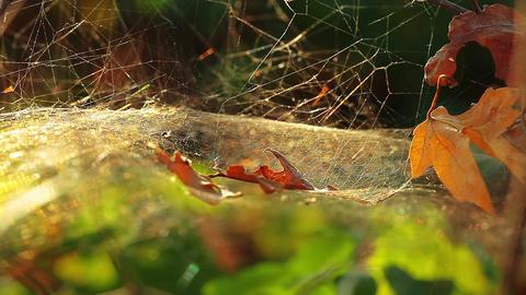 spider web Footage
