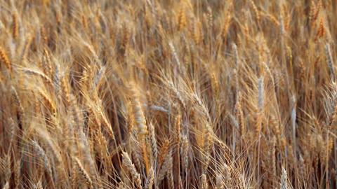 wheats Footage