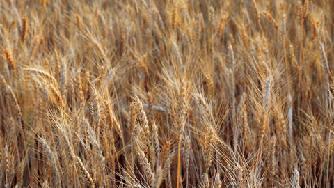 wheats Stock Video Footage