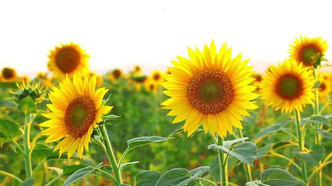 sunflowers on a white background Stock Video Footage