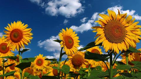flowering sunflowers Footage