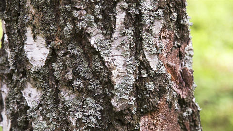 Camera Moving Along The Tree Trunk, Closeup View stock footage
