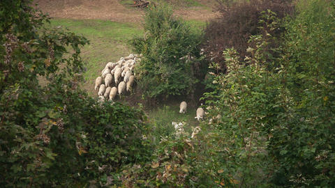 Group of sheeps running on the pasture in forest Stock Video Footage