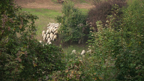 Group of sheeps running on the pasture in forest Footage