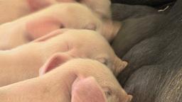 Suckling Piglets Stock Video Footage