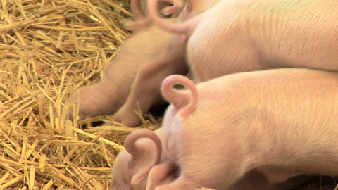 Piglet Tails Stock Video Footage