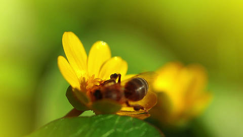 spring flower and small bee Stock Video Footage