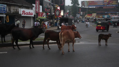Cows cross the road Stock Video Footage
