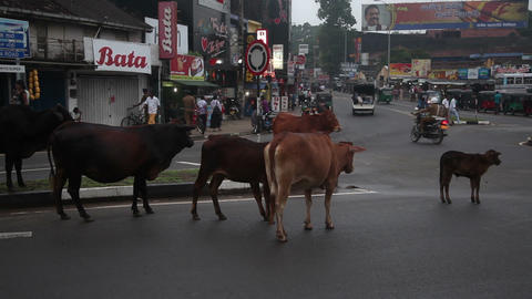Cows cross the road Footage