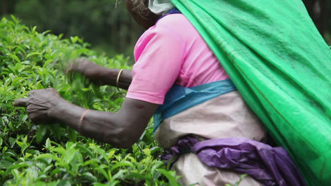 Women gather tea Stock Video Footage