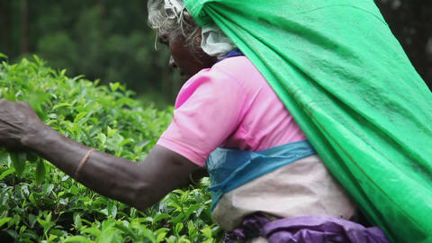 Women gather tea Footage