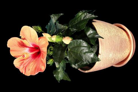 4K. Blooming orange Hibiscus flower buds ALPHA mat Footage