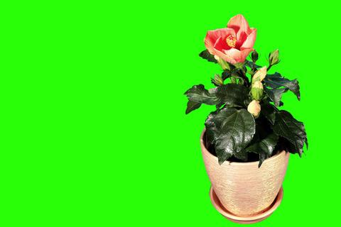 4K. Blooming orange Hibiscus flower buds green scr Footage