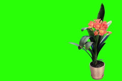 4K. Growth of Clivia flower buds green screen, FUL Footage
