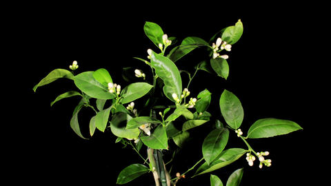 Lemon blossoms on the black background (Citrus lim Stock Video Footage