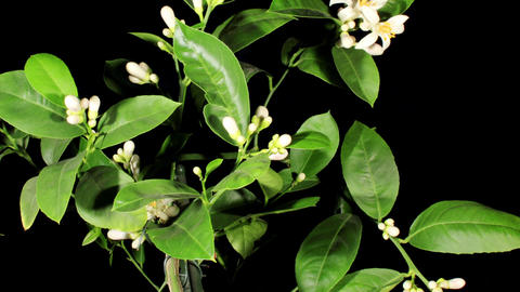 Lemon blossoms on the black background (Citrus lim Footage