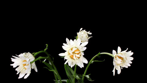 Blooming white daisies on the black background (Le Stock Video Footage