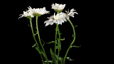 Blooming white daisies on the black background (Le Footage