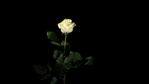 Blooming white roses on the black background, time Stock Video Footage