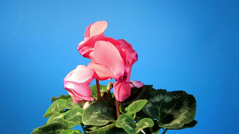 Flowering pink cyclamen on the black background (C Stock Video Footage