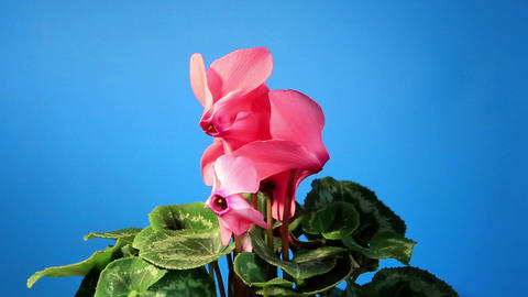 Flowering pink cyclamen on the black background (C Live Action