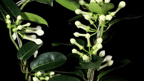 Growth of white hippeastrum flower buds ALPHA matt Footage