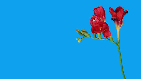 Time-lapse opening red Freesia flower buds ALPHA m Stock Video Footage