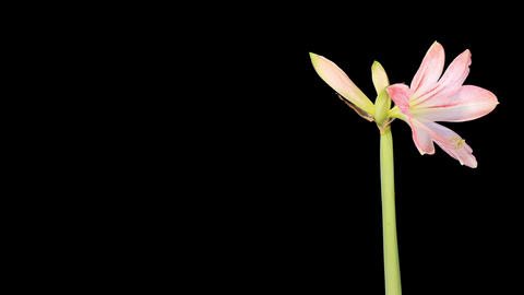 Growth of white hippeastrum flower buds ALPHA matt Stock Video Footage