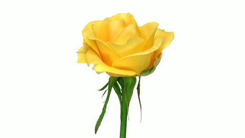 """Rotating """"April"""" rose isolated on white endless loop 1 Stock Video Footage"""