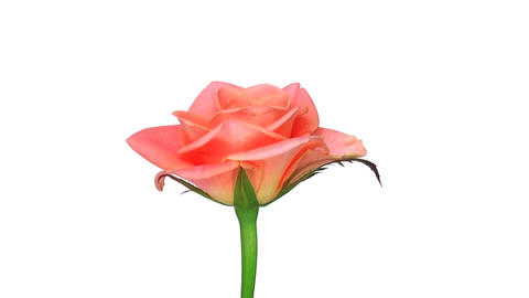 """Rotating """"Bonanza"""" rose isolated on white endless loop 2 Stock Video Footage"""