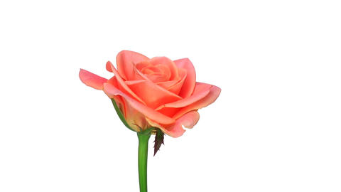 "Rotating ""Bonanza"" rose isolated on white endless loop 2 Stock Video Footage"