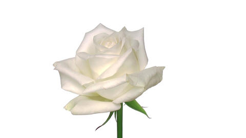 """Rotating """"Akito"""" rose isolated on white endless loop 1 Stock Video Footage"""