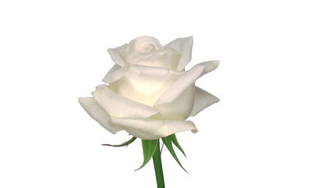 "Rotating ""Akito"" rose isolated on white endless loop 1 Footage"