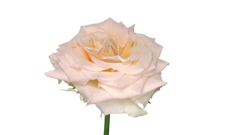 """Rotating """"Renate"""" rose isolated on white endless loop 1 Stock Video Footage"""