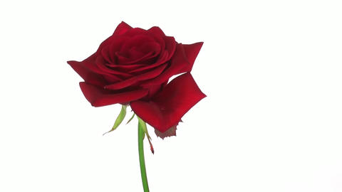 """Rotating """"Kardinal"""" rose isolated on white endless loop 2 Stock Video Footage"""