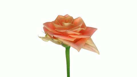 """Rotating """"Prairie"""" rose isolated on white endless loop 2 Stock Video Footage"""