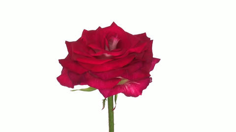 "Rotating ""Shanti"" rose isolated on white endless loop 2 Stock Video Footage"
