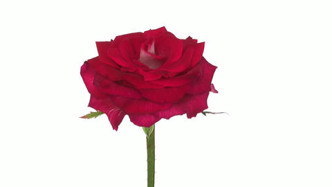 "Rotating ""Shanti"" rose isolated on white endless loop 2 Footage"