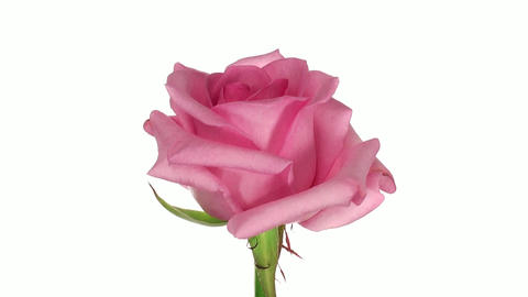 """Rotating """"Blushing Akito"""" rose isolated on white endless loop 2 Footage"""
