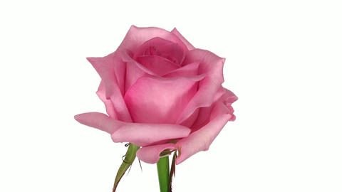 """Rotating """"Blushing Akito"""" rose isolated on white endless... Stock Video Footage"""