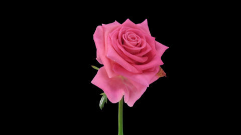 """Time-lapse of opening """"Attachea"""" rose with alpha matte 2 Stock Video Footage"""